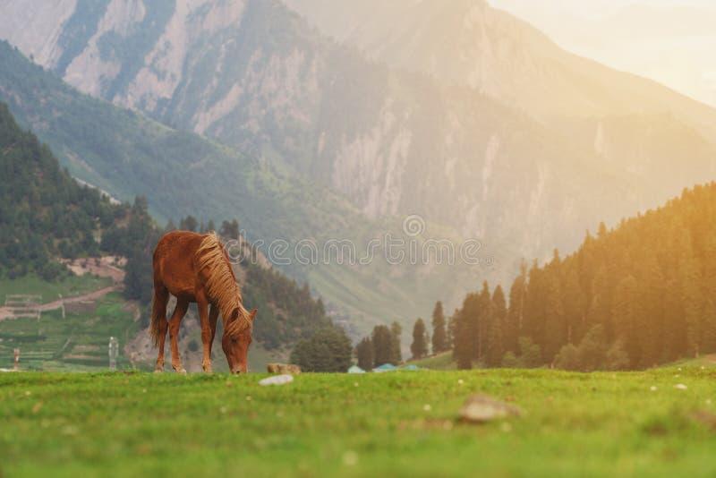 吃草在草甸的马草有山和森林视图早晨 免版税库存照片