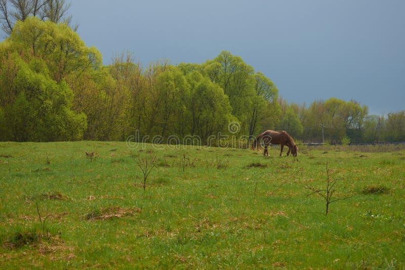 吃草在草甸的马 库存图片