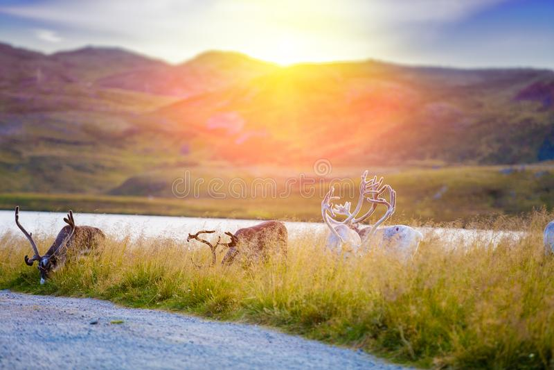 吃草在草甸的鹿牧群  免版税库存图片