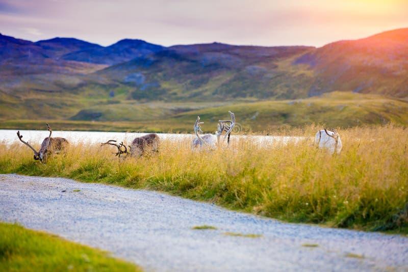 吃草在草甸的鹿牧群  免版税图库摄影