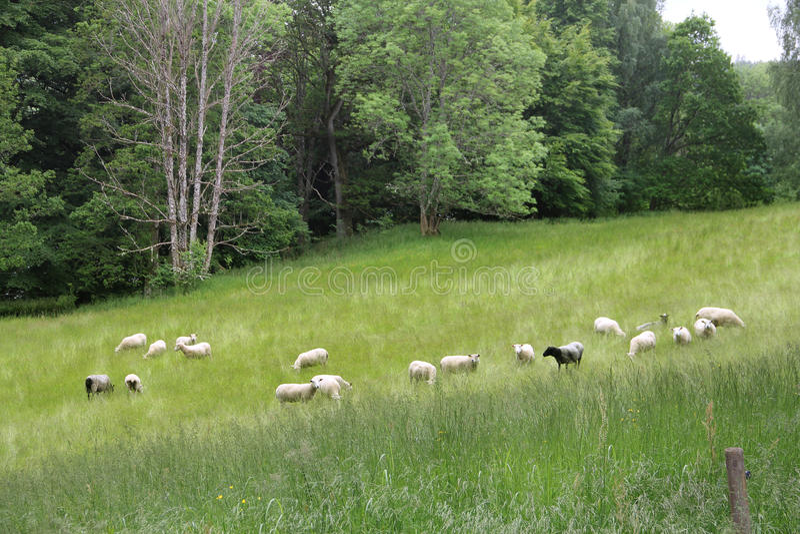 吃草在草甸的绵羊 免版税库存照片