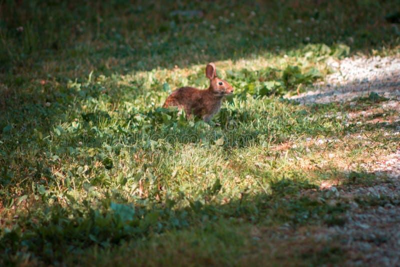 吃草在草的兔子在韦恩堡印第安纳 免版税库存照片