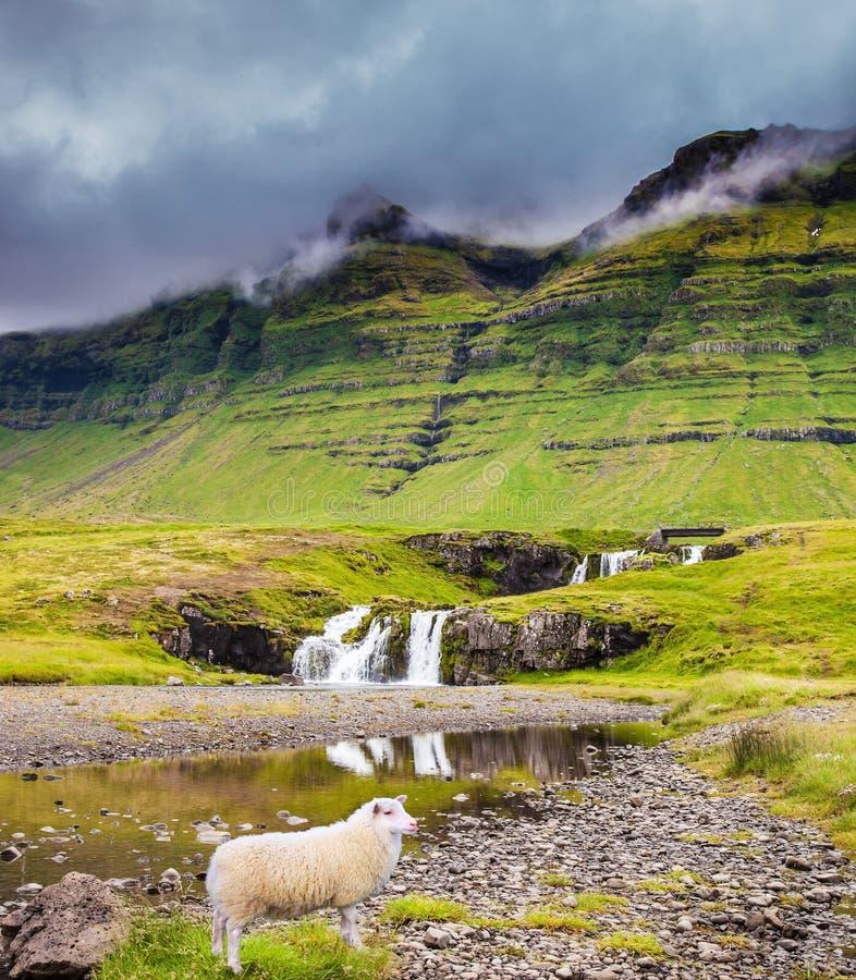 吃草在草的农夫绵羊 图库摄影
