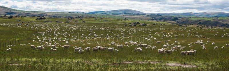 吃草在草的绵羊 免版税库存图片