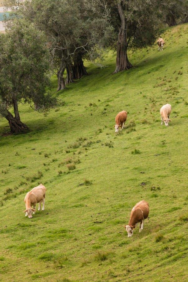 吃草在象草的倾斜的母牛 免版税库存图片