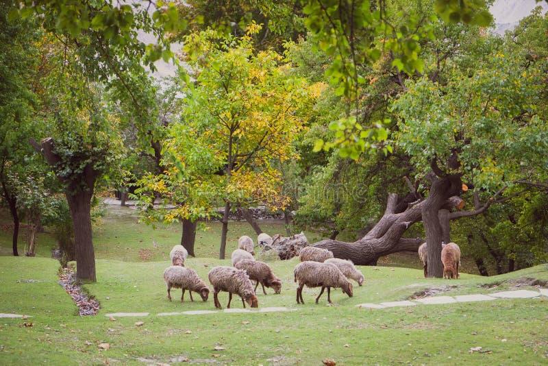 吃草在豪华的绿色草坪的绵羊牧群  免版税库存图片
