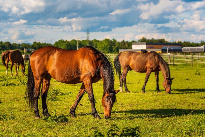 吃草在豪华的绿色被日光照射了牧场地户外夏天的三匹美丽的马 免版税库存照片