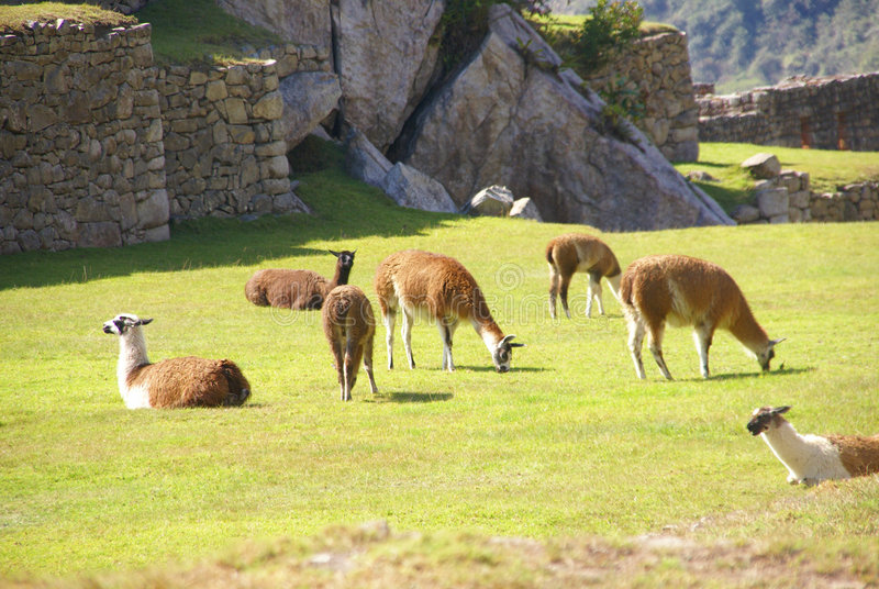 吃草在露台的广场的骆马 免版税库存照片