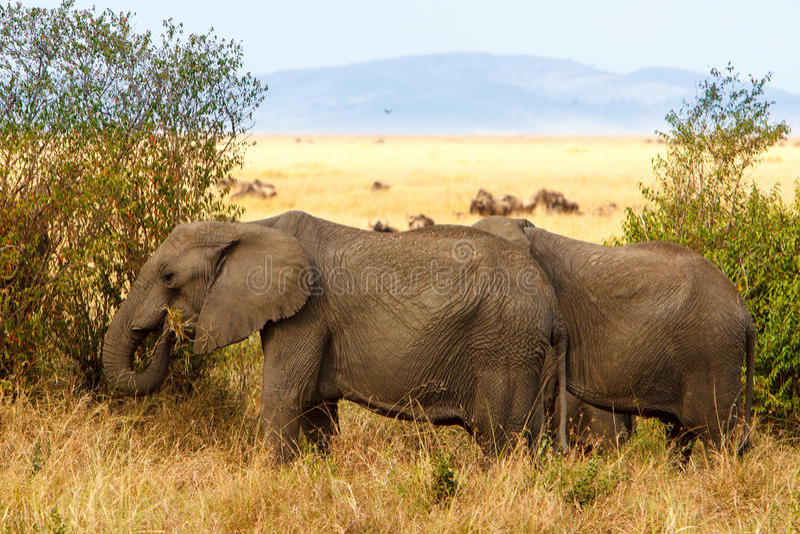 吃草在非洲大草原的成人非洲灌木大象.图片