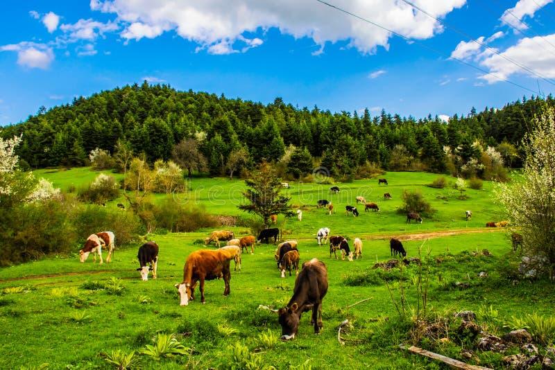 吃草在领域土耳其的母牛 免版税库存照片