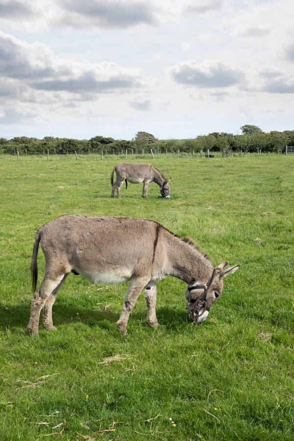 吃草在领域的两头驴 库存图片