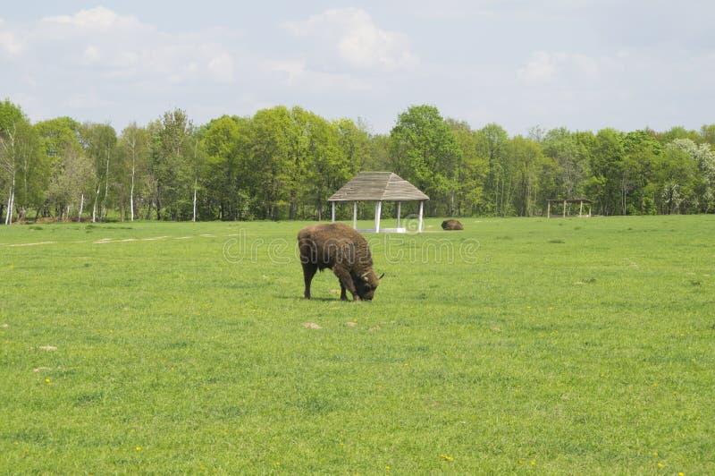 吃草在领域的北美野牛 免版税图库摄影
