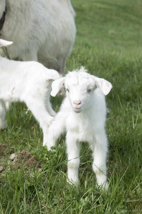 吃草在领域的小山羊 图库摄影