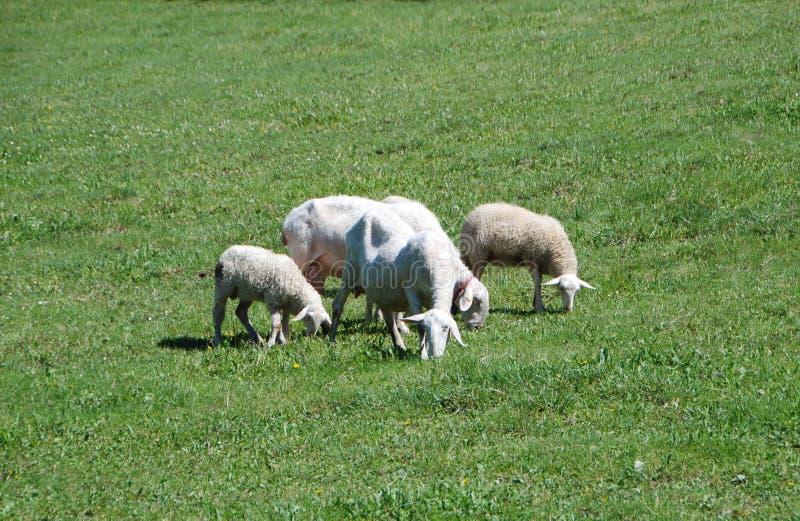 人和绵羊交配_吃草在领域的有些绵羊
