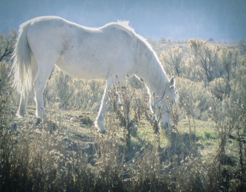 吃草在领域的梦想的白马 库存照片