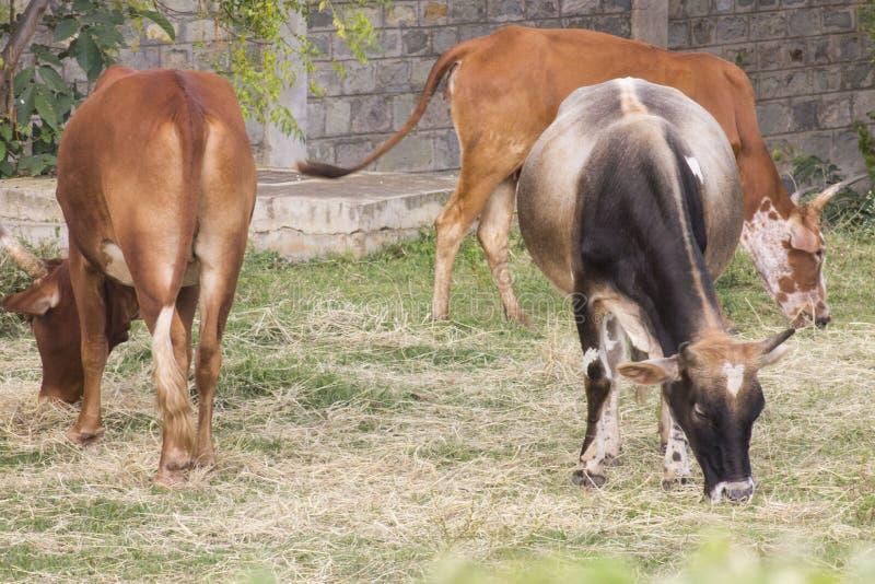 吃草在领域的母牛 图库摄影