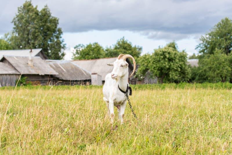 吃草在领域的白色山羊在一个夏日 库存照片