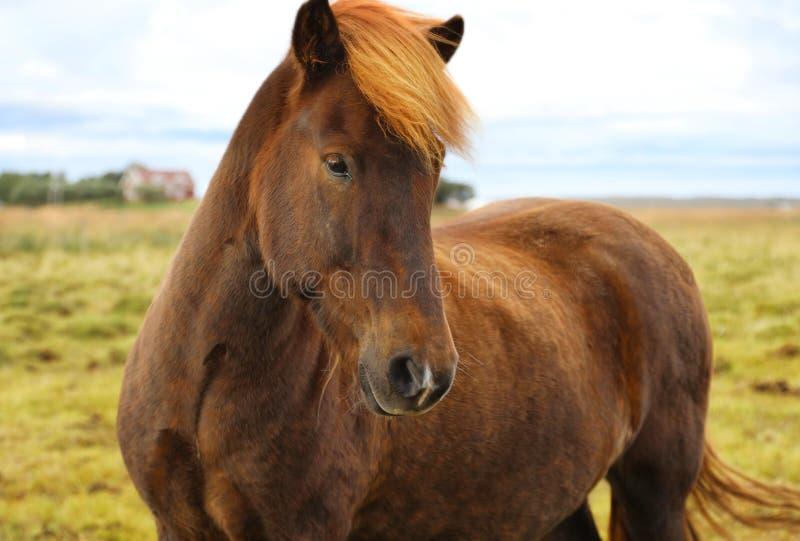 欧洲特级性交图片_吃草在领域的纯血统冰岛马