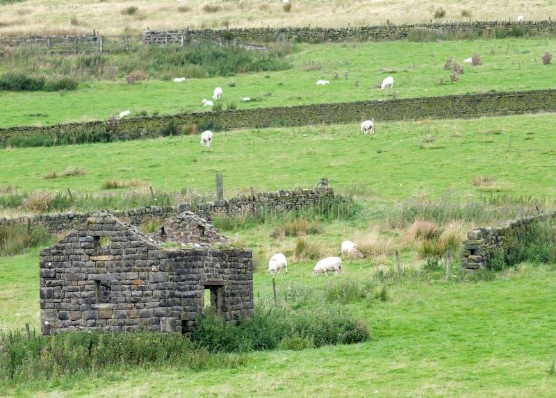 吃草在领域的绵羊围拢由有一个被破坏的村庄在前景和丛的石块墙高荒野草 免版税库存照片