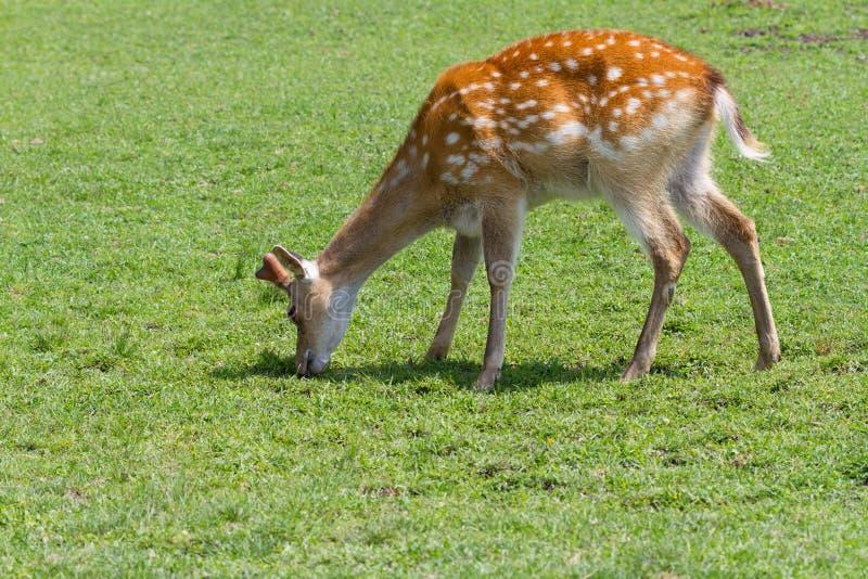 吃草在领域的Sika鹿 鹿在自然关闭的日本鹿照片 免版税库存图片