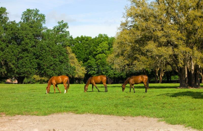 吃草在马的一岁在佛罗里达种田 库存图片