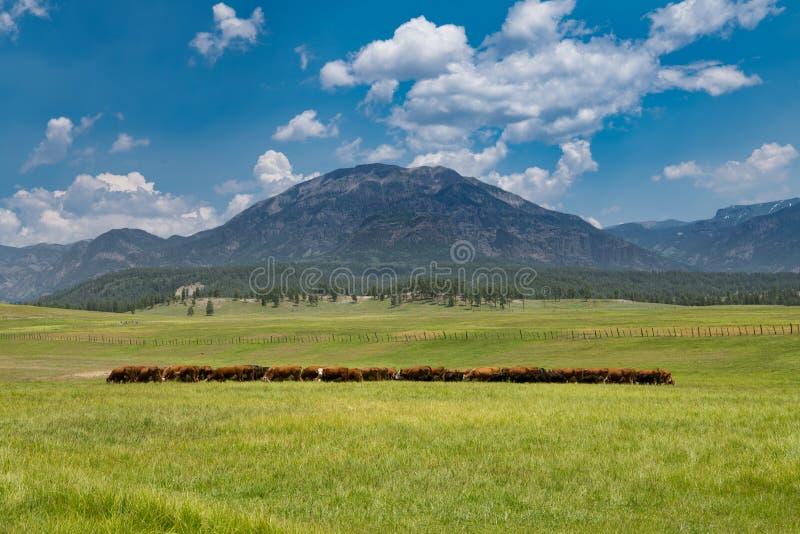 吃草在高山峰顶下的一个豪华的绿色象草的草甸的牛牧群  免版税图库摄影