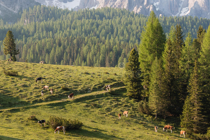 吃草在高山草甸的母牛牧群  图库摄影