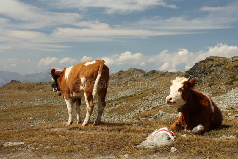 吃草在高山草甸的母牛 免版税库存图片