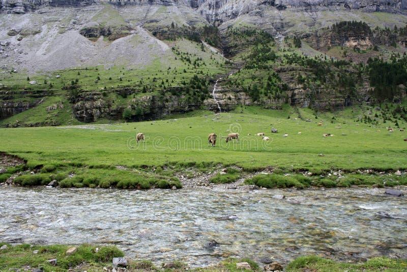 吃草在高山草甸的母牛 库存图片
