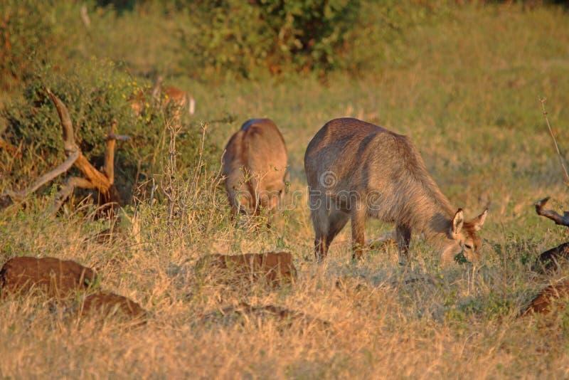 吃草在黄昏的太阳草原的WATERBUCK 免版税库存照片
