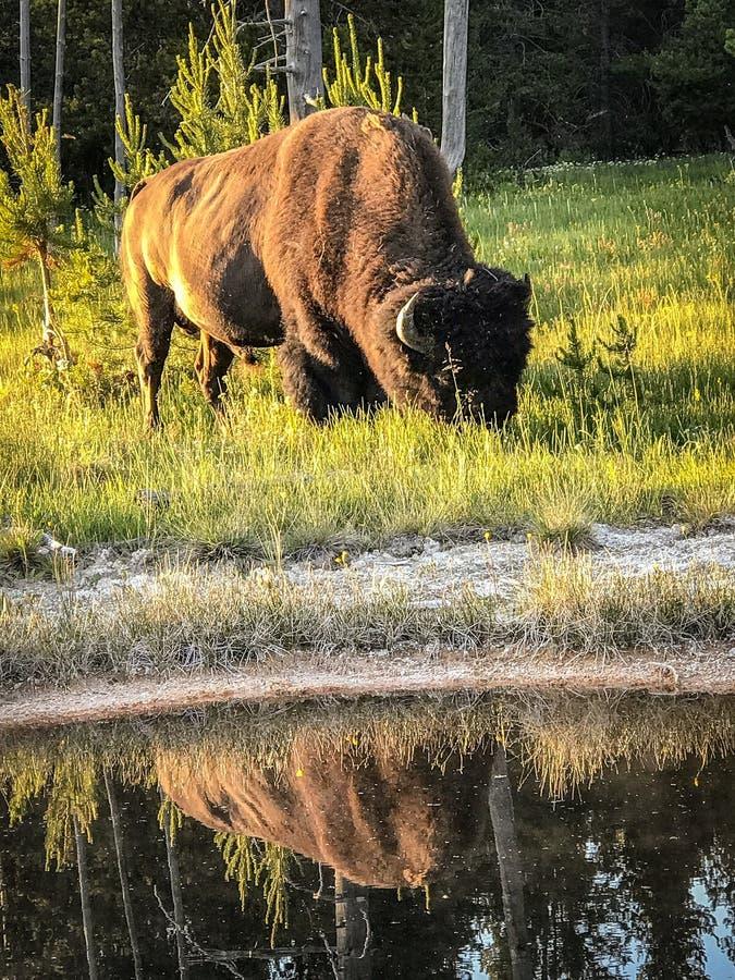 吃草在黄石国家公园的北美野牛 免版税库存照片