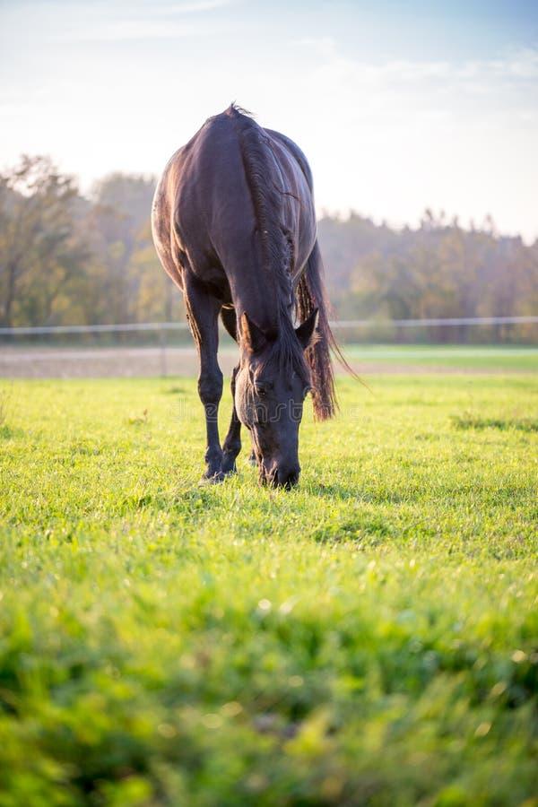 吃草在绿色牧场地的大黑马 库存照片