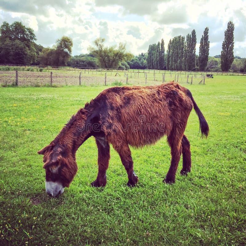 吃草在绿色牧场地的母poitou驴