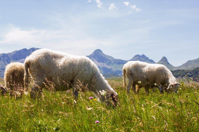 吃草在绿色牧场地的绵羊 免版税库存照片