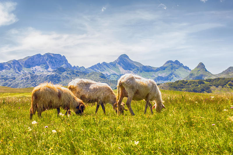 吃草在绿色牧场地的绵羊 库存照片