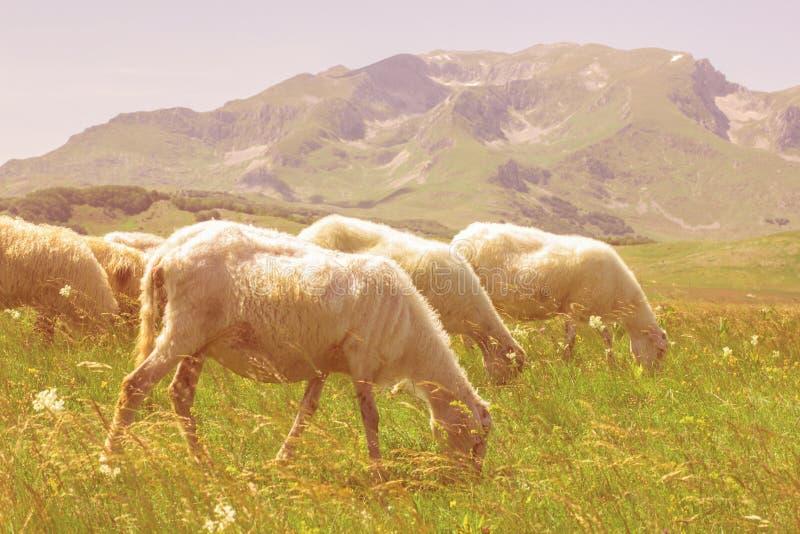 吃草在绿色牧场地的绵羊 免版税图库摄影