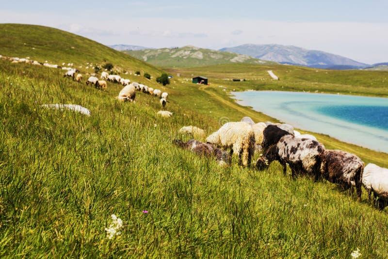 吃草在绿色牧场地的绵羊 图库摄影