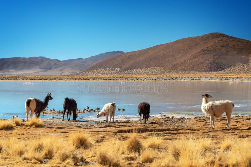 吃草在altiplano的,玻利维亚一个湖附近的家养的骆马 免版税图库摄影