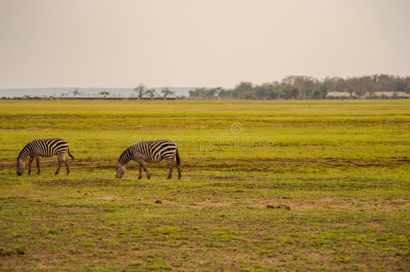 吃草在Amboseli大草原的几匹斑马停放 免版税库存照片