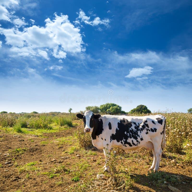 吃草在Ciutadella附近的Menorca黑白花的母牛拜雷阿尔斯 免版税库存图片