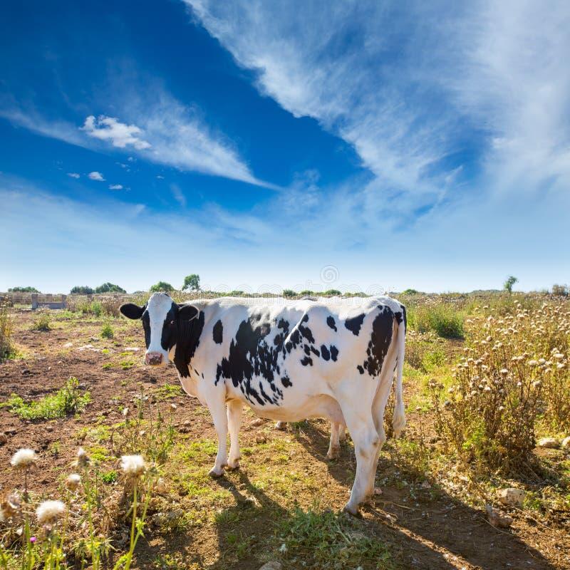 吃草在Ciutadella附近的Menorca黑白花的母牛拜雷阿尔斯 免版税图库摄影