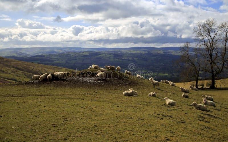 吃草在Clwyd Flintshire北部威尔士美丽的谷的小丘和山边的绵羊  免版税库存照片