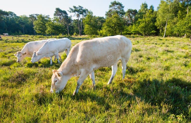 吃草在earling的早晨光的母牛 库存图片