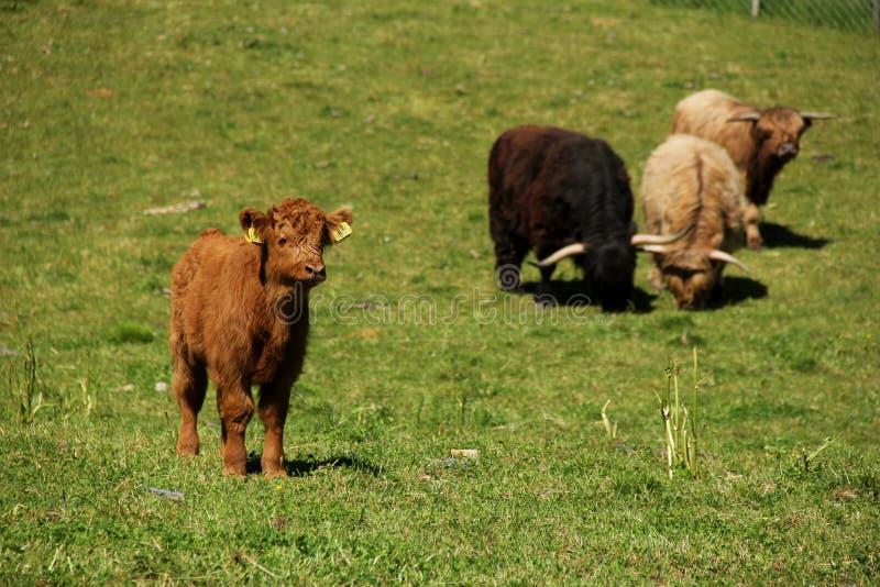 吃草在Flam的高地牛 免版税库存图片