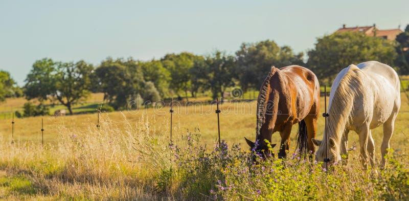 吃草在Maremmana乡下的对野马在Tusc 免版税库存照片