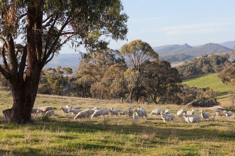 吃草在nsw oberon绵羊附近的澳洲农场 免版税图库摄影
