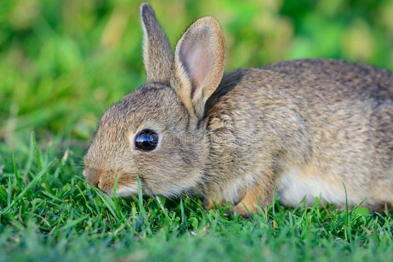 download吃草小的图片库存兔子.蜜蜂晚上做脾吗图片