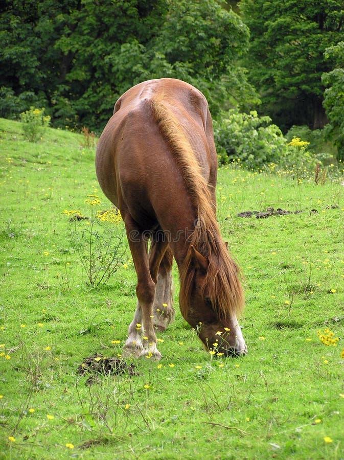 吃草小马2 库存图片