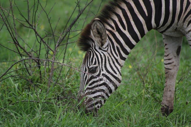 吃草斑马的特写镜头 库存照片