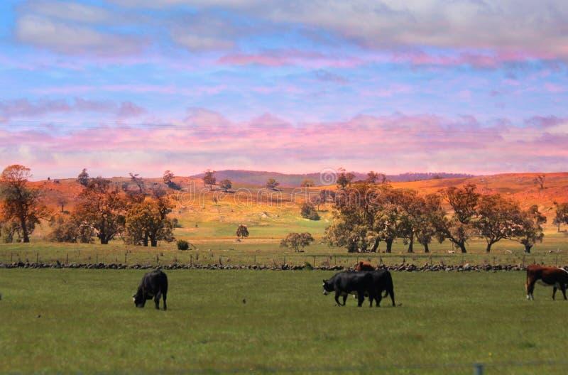 吃草日落的母牛 免版税库存图片
